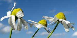 Bild: Langsam welkende Gänseblümchen