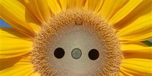 Bild: Stecker und Sonnenblume